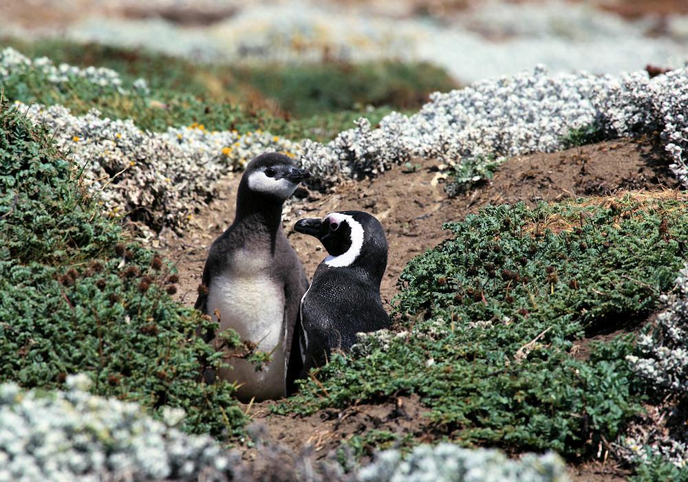 Magellanstraße - hier brüten Pinguine